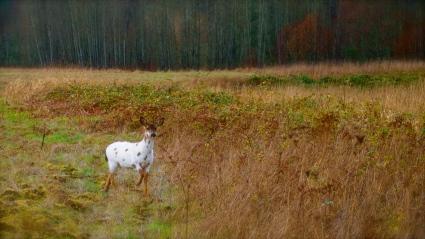 Mule deer/Black-tail deer
